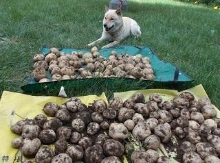 ジャガイモ収穫.jpg