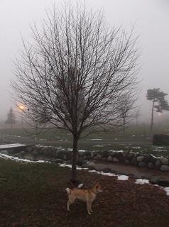 霧の夕方のナナカマド.jpg