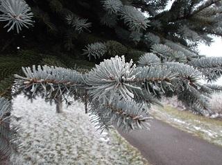 霧氷の松.jpg